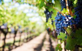Procesy przygotowania wina
